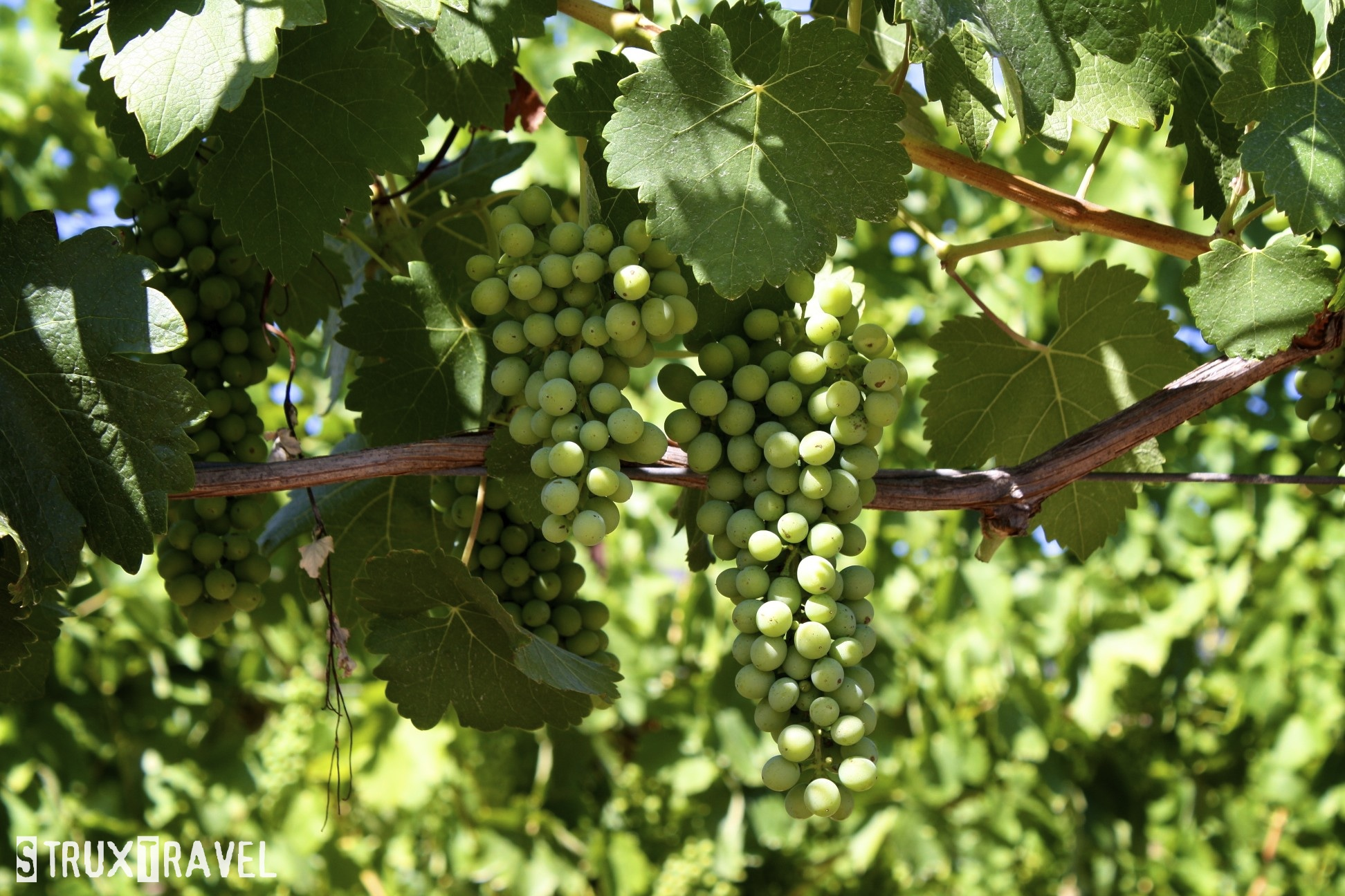 how to cut grapes off the vine